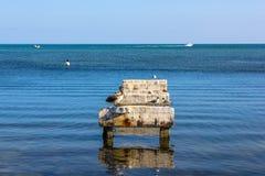 Bruine Pelikanen Florida Royalty-vrije Stock Fotografie
