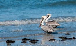 Bruine Pelikanen op de kust Stock Foto's