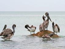 Bruine Pelikanen van Clearwater, Florida Stock Foto's