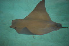 Bruine pijlstaartrog die in het water zwemt Stock Foto's