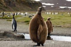 Bruine pluizige jeugdkoningspinguïn met kolonie op achtergrond stock foto's