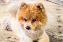 Bruine Pomeranian gaat zitten Royalty-vrije Stock Foto