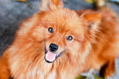 Bruine pomeranian hond Stock Foto's