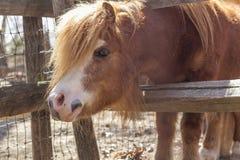 Bruine poney stock foto