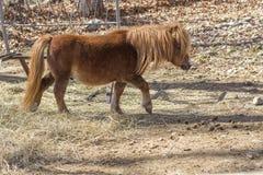 Bruine poney Royalty-vrije Stock Foto