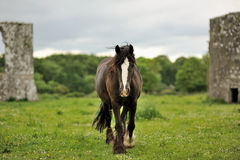 Bruine poney Royalty-vrije Stock Afbeelding