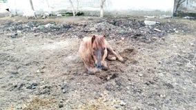 Bruine poney stock afbeelding