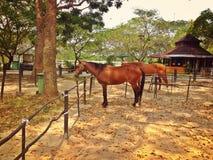 Bruine poneys Royalty-vrije Stock Afbeeldingen