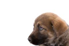 Bruine puppyhond die linker kijkt Stock Afbeelding