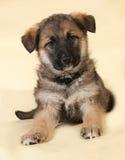 Bruine puppyzitting op geel Royalty-vrije Stock Fotografie