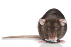 Bruine Rat Royalty-vrije Stock Foto's