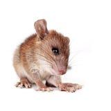 Bruine rat Stock Afbeelding