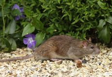 Bruine Rat Stock Foto