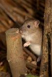 Bruine Rat - norvegicus Rattus Stock Foto