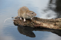 Bruine rat, Rattus-norvegicus Stock Foto's