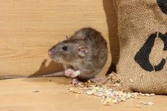 Bruine rat, Rattus-norvegicus Stock Afbeeldingen