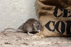 Bruine rat, Rattus-norvegicus Royalty-vrije Stock Afbeeldingen