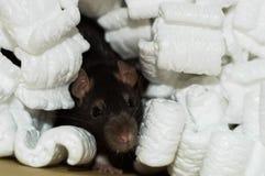 Bruine rat in verpakkingspinda's Stock Afbeelding