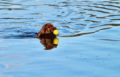 Bruine retrieverhond die gele bal in water het zwemmen krijgen stock afbeeldingen