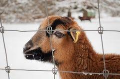 Bruine schapen Stock Afbeelding