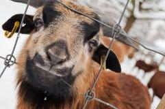 Bruine schapen Stock Foto