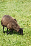 Bruine schapen die op gebied weiden Royalty-vrije Stock Foto