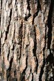 Bruine schors van een pijnboomboom Royalty-vrije Stock Afbeeldingen