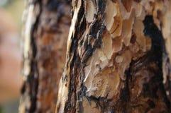 Bruine schors van pijnboom-boom Stock Foto