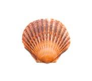Bruine shell die op wit wordt geïsoleerdr Stock Afbeeldingen