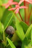 Bruine slak en rode bloemen Royalty-vrije Stock Afbeeldingen