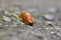 Bruine slak, landslak, aardse pulmonate buikpotigeweekdieren Stock Foto's