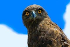 Bruine Slang Eagle Royalty-vrije Stock Foto