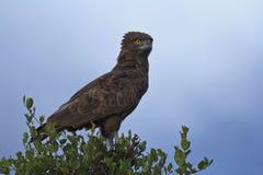 Bruine Slang Eagle - Circaetus-cinereus Royalty-vrije Stock Foto's