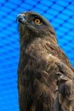 Bruine Slang Eagle in Rehabilitatiegevangenschap (Circaetus-cinereus) Stock Afbeelding