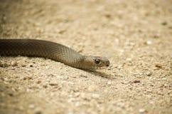 Bruine slang op zand Stock Afbeeldingen