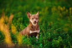 Bruine speelse puppyzitting in camomiles Stock Afbeeldingen