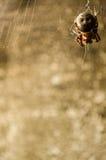 Bruine spin Stock Afbeeldingen