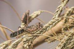 Bruine sprinkhaan in aard, Trekvogelsprinkhaan stock afbeeldingen