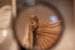 Bruine Sprinkhaan onder Vergrootglas royalty-vrije stock fotografie