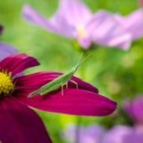 Bruine sprinkhanenzitting op roze bloem, macro Royalty-vrije Stock Afbeelding