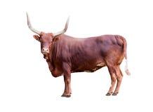 Bruine stier die op whit wordt geïsoleerdt Royalty-vrije Stock Afbeeldingen