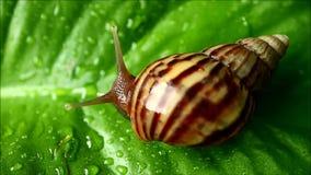 Bruine streepshell slak die zich langzaam op het trillende groene blad met waterdruppeltjes bewegen na de regen stock video