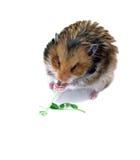 Bruine Syrische hamster die en groene stam van een installatie zitten eten Royalty-vrije Stock Foto's