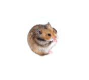 Bruine Syrische hamstertribunes op zijn achterste benen en pinche neus Stock Foto's