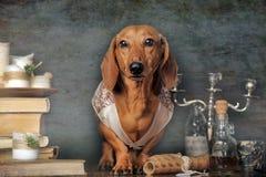 Bruine tekkel in een vest royalty-vrije stock fotografie