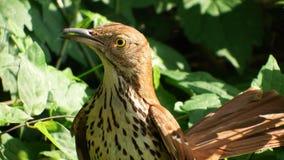 Bruine thrasher op nest Stock Afbeeldingen