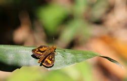 Bruine tropische vlinder Stock Afbeeldingen