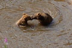 Bruine twee dragen Stock Fotografie
