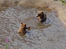 Bruine twee dragen in het water Stock Foto's