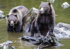 Bruine twee dragen Welpen Royalty-vrije Stock Foto's